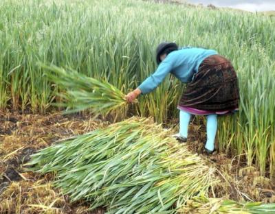 Harvesting in Cotopaxi, Ecuador